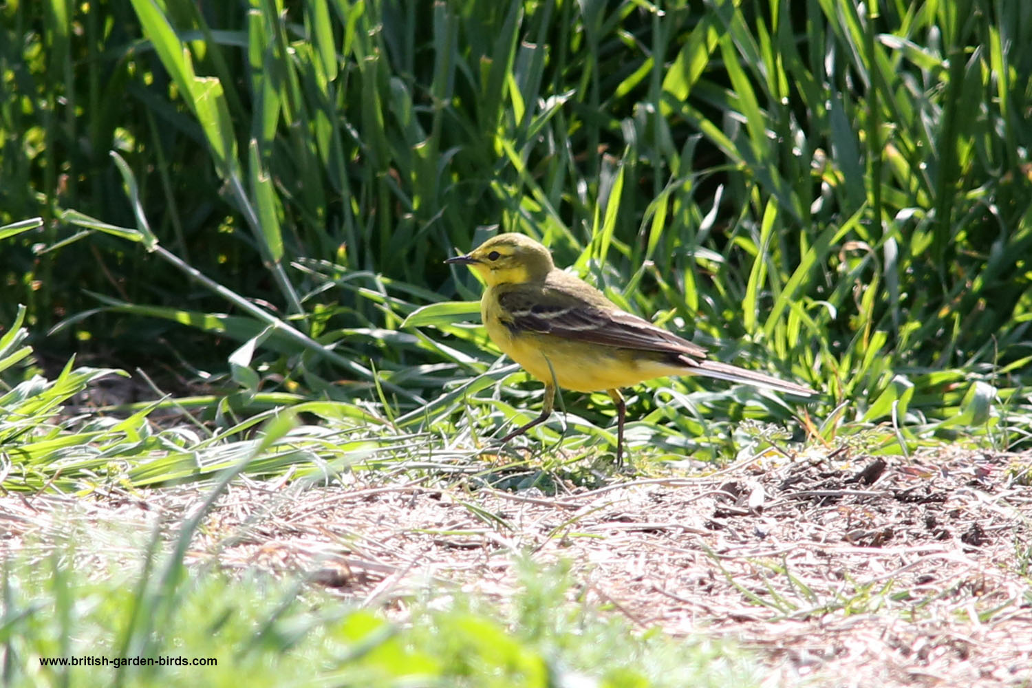 common british birds teal to yellow wagtail. Black Bedroom Furniture Sets. Home Design Ideas