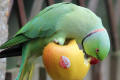 Ring-necked Parakeet